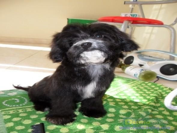 Jual Anjing Poodle Maltepo maltese Vs Poodle 1
