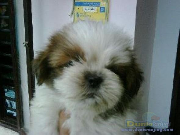 Dunia Anjing Jual Anjing Shih Tzu Shihtzu Jantan For Sale Lokasi Bali 08174750534