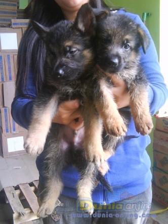 Dunia Anjing Jual Anjing German Shepherd Dog 2 Ekor Anakan Herder Turun Harga