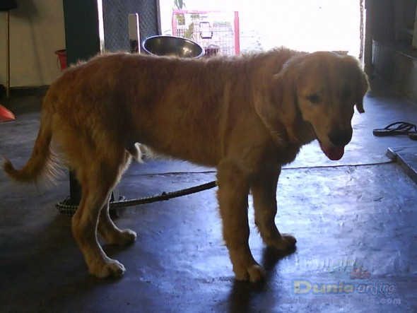 Jual golden retriever 1 juta