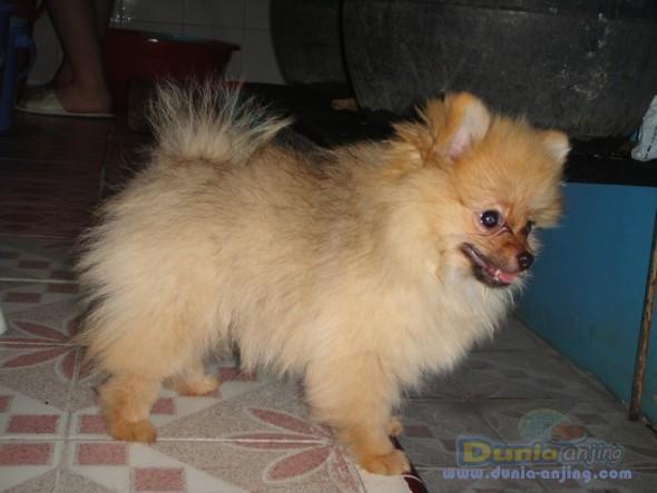 Pomeranian husky miniature full grownjapanese akita pluto siberian