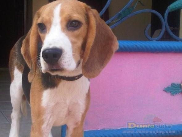 Jual Anjing Beagle - Beagle Calon Pejantan - 1