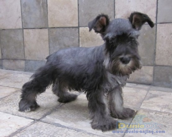 Miniature Schnauzer X Miniature Dachshund Puppies (Schnoxie) in Dawson
