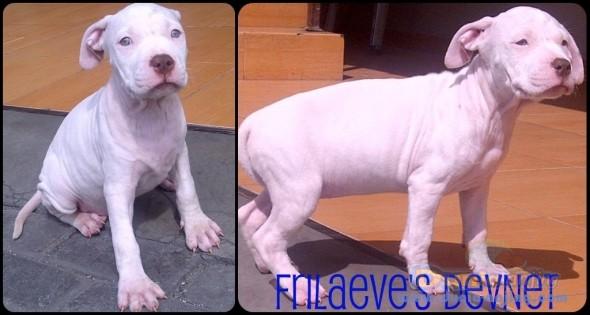 13+ Anjing pitbull putih terupdate