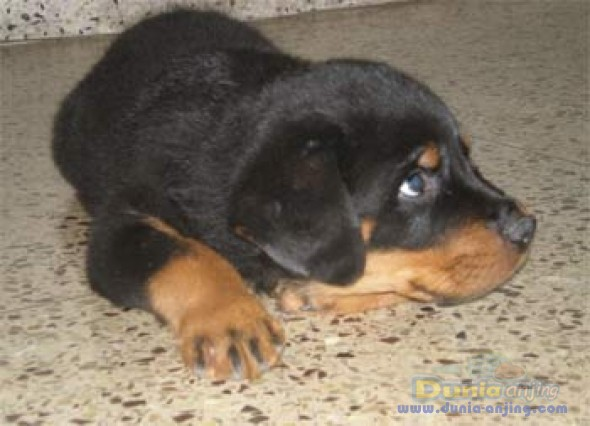 Jual Anjing Rottweiler - Jual Anakn Rott (stbm)umr 2-3bln,murah - 2