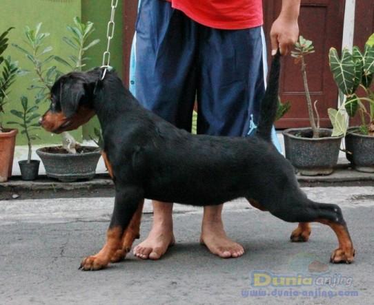 Jual Anjing Rottweiler Jual Murah 1 Automotive News