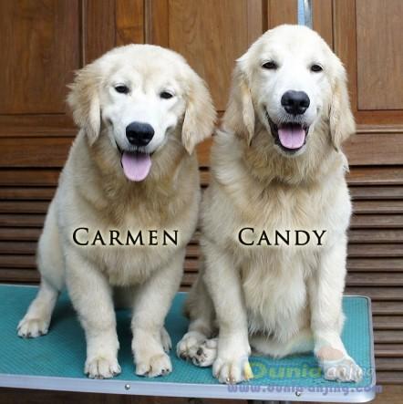 Jual Anjing Golden Retriever - Dijual Anakan Import Champion Golden