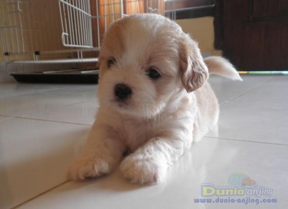 Dunia Anjing Jual Anjing Lainnya Mix Breed Jual 3 Ekor Anak Anjing Mix Shih Tzu