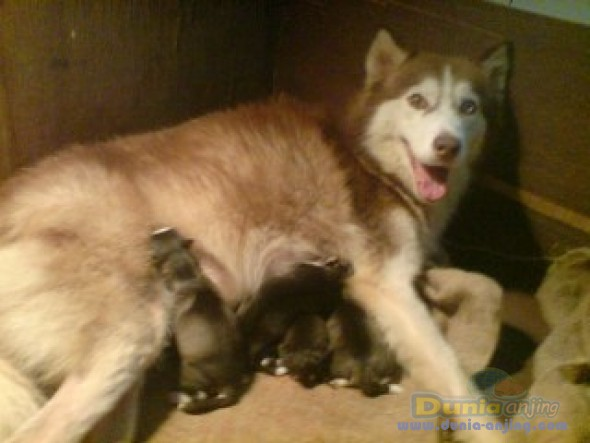 Anjing Siberian Husky - Jual Indukan Husky,long Hair,coklat Putih - 3