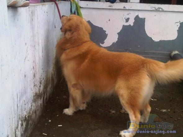 Dunia Anjing Jual Anjing Golden Retriever Jual Golden Retriever Bali