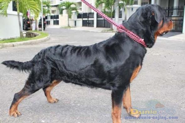 Dunia Anjing Jual Anjing Rottweiler Jual Rottweiler Jantan Bagus Murah