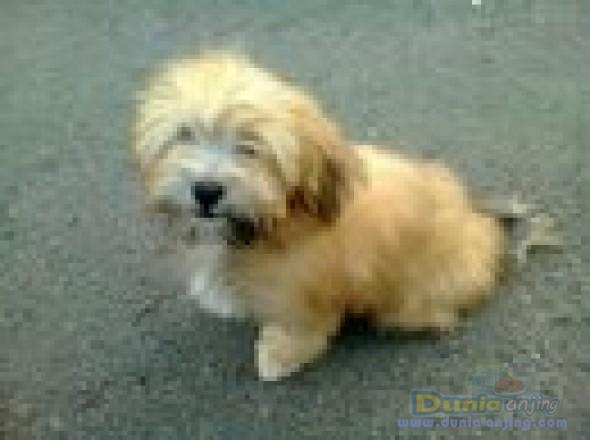 Dunia Anjing Jual Anjing Lainnya Mix Breed Puppies Shihtzu Mix Maltese Murahhh