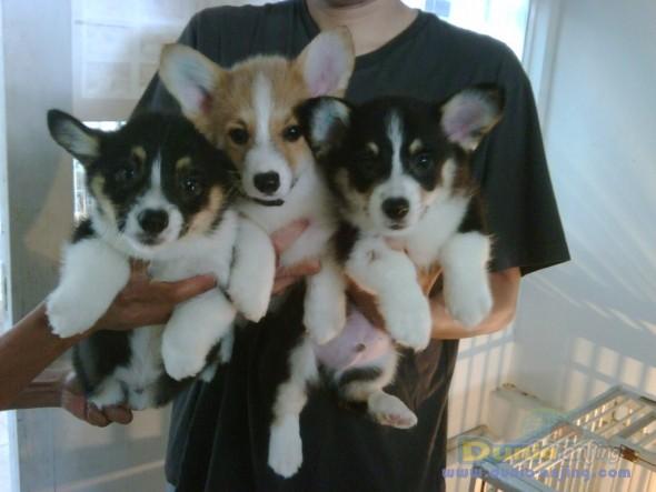 50+ Anjing corgi murah terbaru