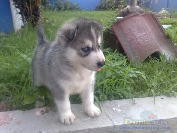 Dunia Anjing Jual Anjing Siberian Husky Jual Siberian Husky Puppies