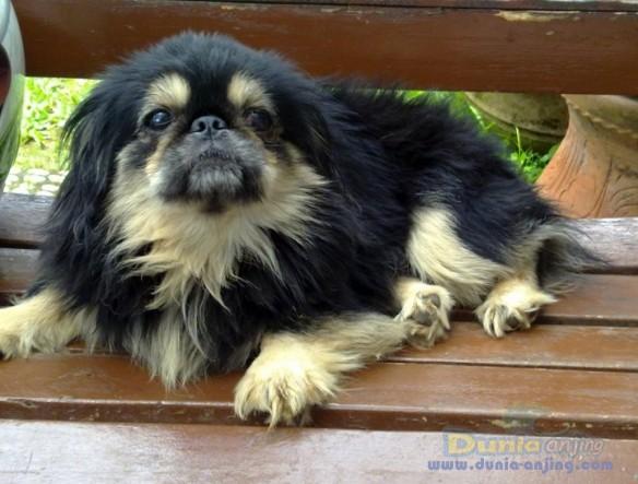 Dunia Anjing Jual Anjing Pekingese Dijual Pejantan Peking Warna Langka
