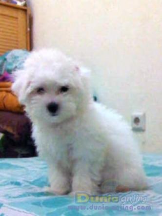 Dunia Anjing Jual Anjing Maltese Dijual Anak Anjing Maltese Lucu Dan Putih