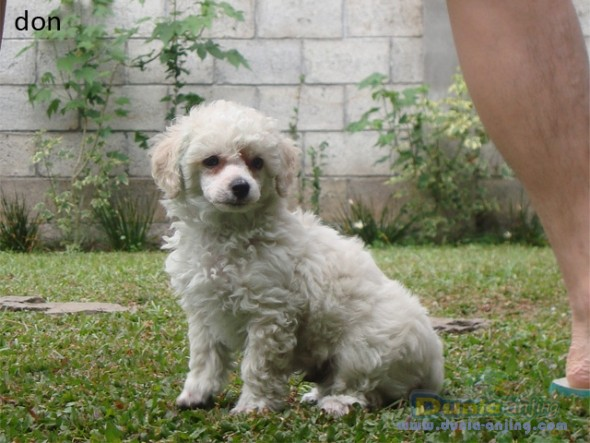 Jual Anjing Poodle For Sale Puppy Toy Poodle 2