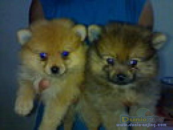 Jual Anjing Pomeranian - Dogi Ok,harga Miring!!!!! - 2