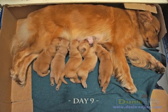 Jual Anjing Golden Retriever - Dijual Golden Istimewa (Anakan Hudson