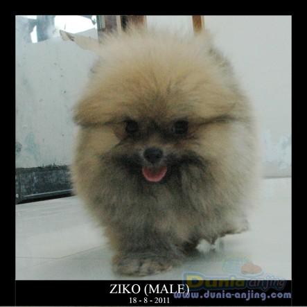 ... Pomeranian - JUAL MINI POMERANIAN SHOW QUALITY BULU SUPER LEBAT - 4