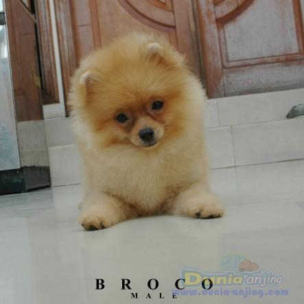 Dunia Anjing Jual Anjing Pomeranian Jual 1 Ekor Anakan Mini Pom Harga Terjangkau