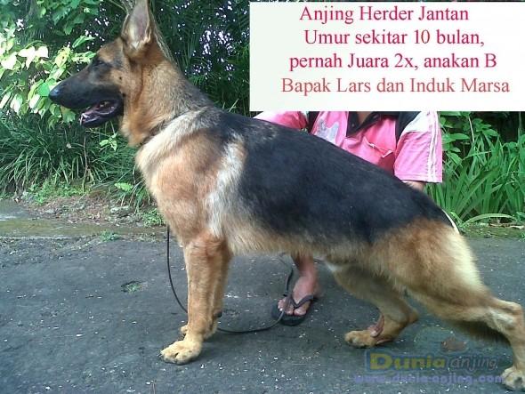 dunia anjing jual anjing german shepherd dog   jual