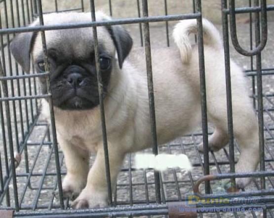 17++ Anjing pug dijual terbaru