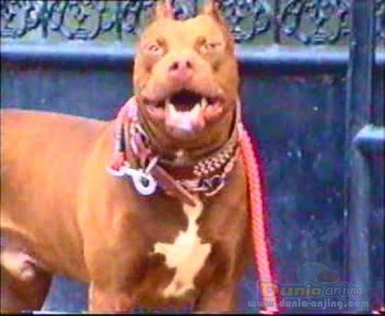 Dunia Anjing Pejantan Anjing American Pit Bull Terrier