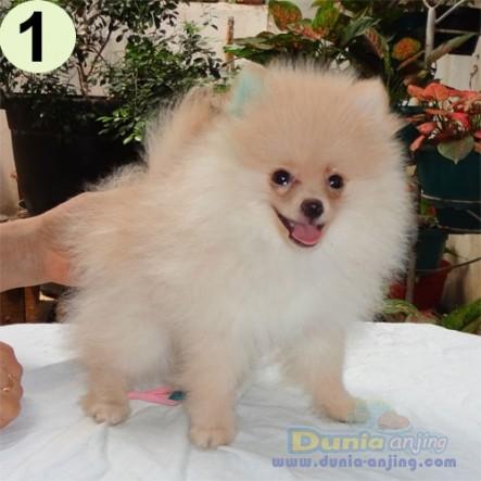 Jual Anjing Pomeranian - Jual Mini Pom - 1