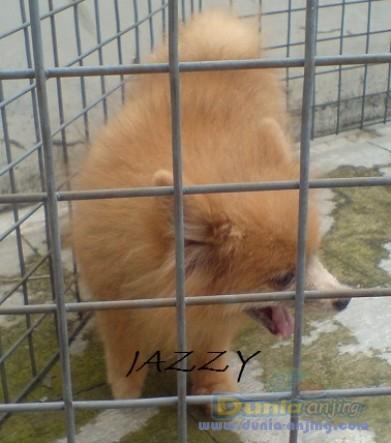 Jual Anjing Pomeranian - Indukan Pom - 1