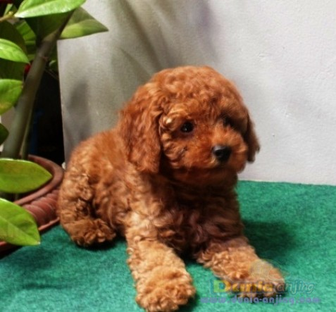 49+ Jenis anjing red toy poodle terupdate