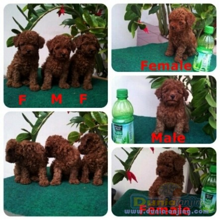 Jual anjing poodle - jual anak anjing super red toy poodle - 1