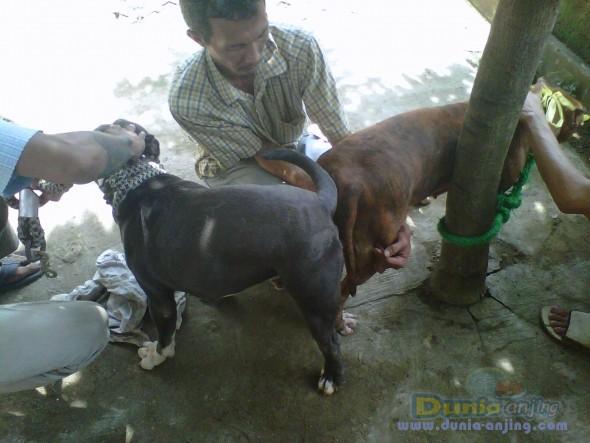 Jual Anjing American Pit Bull Terrier - Open DEPOSIT For American