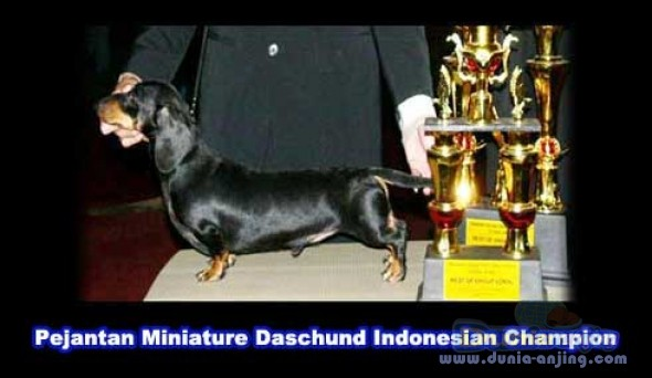 Dunia Anjing Pejantan Anjing Dachshund Stud Service