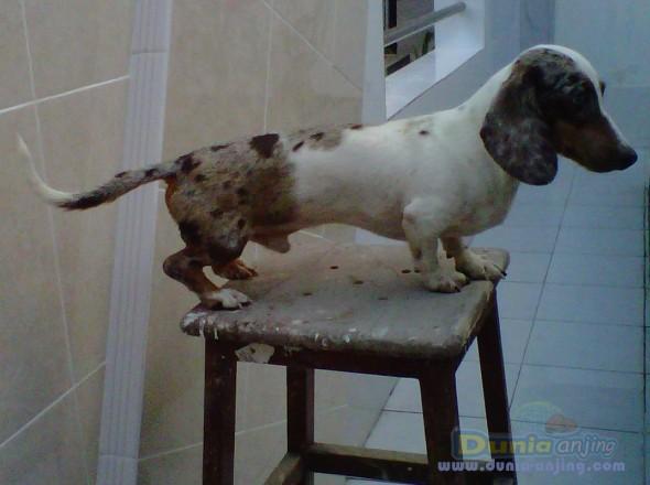 Pejantan Anjing Dachshund Stud Service