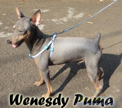 Dunia Anjing Pejantan Anjing Miniature Pinscher Stud