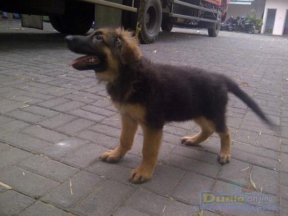 Jual Anjing German Shepherd Dog - Herder Keturunan Import Stamboom