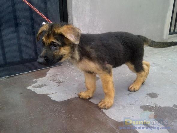 dunia anjing jual anjing german shepherd dog   german