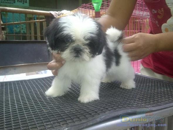 Dunia Anjing   Jual Anjing Shih Tzu - Shih Tzu Jantan Betina StamboomBeagle Boxer Mix Full Grown