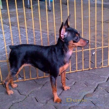 29+ Anjing mini pinscher terbaru