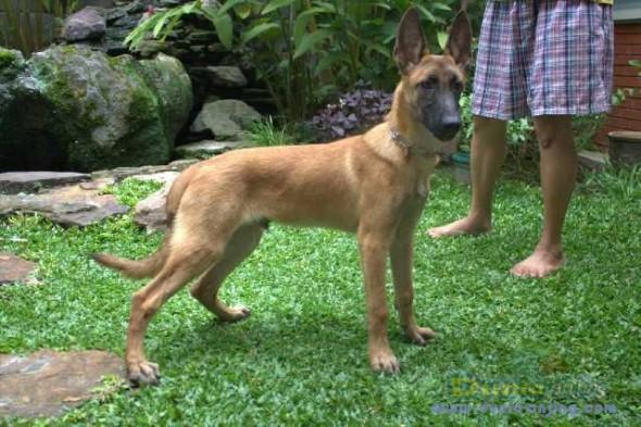 Kandang Anjing Anjing Belgian Malinois Dijual
