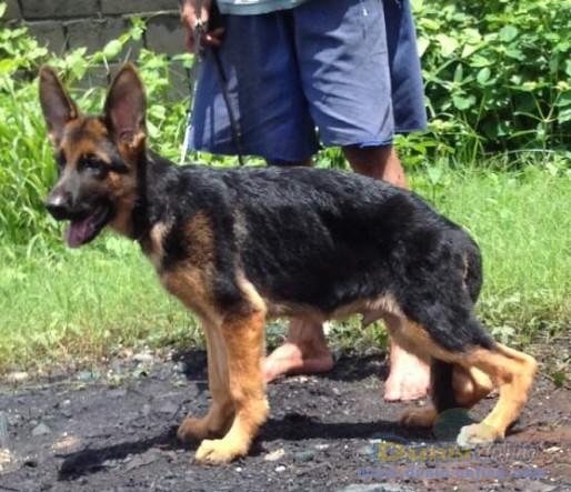 dunia anjing jual anjing german shepherd dog   herder