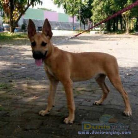 Dunia Anjing Jual Anjing Belgian Malinois Belgian Malinois Jantan Non Stamboom