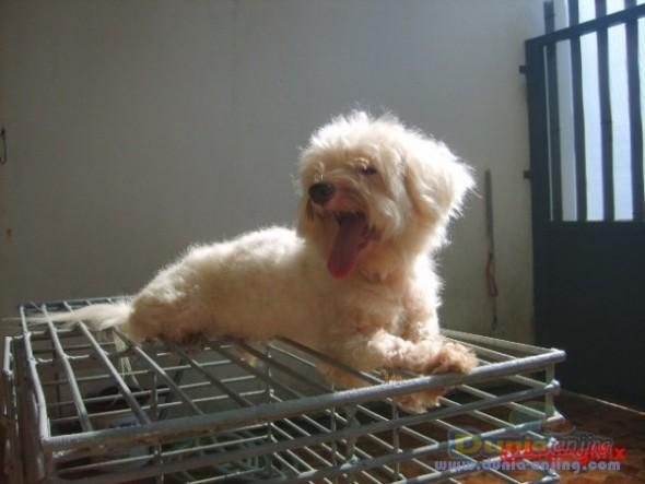 Jual Anjing Lainnya / Mix Breed - Maltese Murah - 4