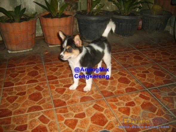 Jual Anjing Lainnya / Mix Breed - Mix Breed Pomeranian - 1