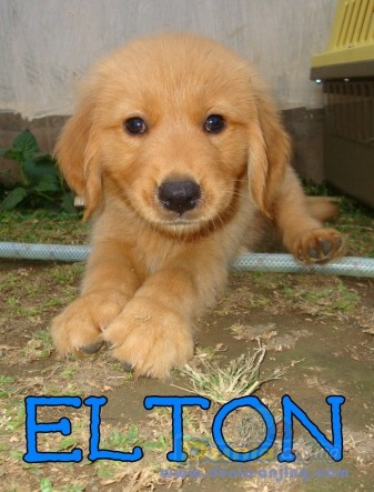 Jual Anjing Golden Retriever - For Sale 8 Golden Retriever Puppies