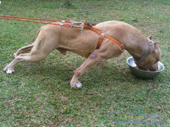Dunia Anjing Pusat Jual Anjing Ras Terbaru Di Indonesia
