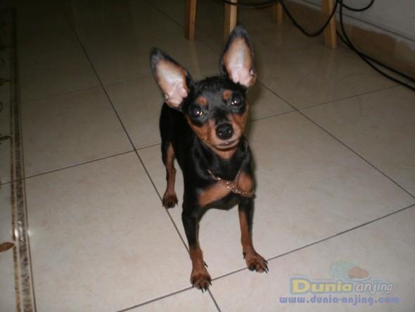 23+ Anjing mini pinscher dijual terupdate