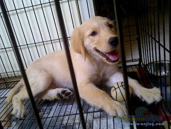 Dog Food Untuk Golden Retriever