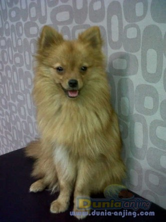 Jual Anjing Lainnya / Mix Breed - Puppy Pom, Harga Bersahabat :) - 1